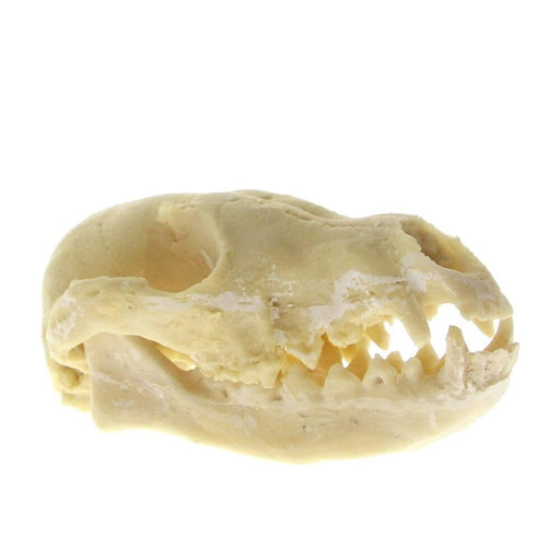 Red Fox Skull Fox Resin Skull Bone Specimen Swift Fox Skull Skeleton Head Ornament Realistic Physiological Study Teaching Model
